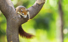 Beautiful Brown Squirrel Sleep Happily On The Branches With Green Bokeh Background-Image