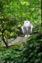 Female Snowy Owl Sitting In Av...
