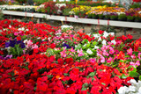 View of different bloomy flowers begonia growing in greenhouse