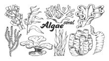 Collection Algae Seaweed Coral Set Vintage Vector. Different Algae Underwater Species, Marine Creatures, Sea Or Ocean Flora And Fauna Concept. Designed Template Monochrome Illustrations