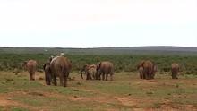 Elephant Herd, Filmed From Behind, Moves Toward Dense Bushland In South Africa.