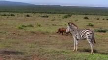 Plains Zebra Stands Still On G...