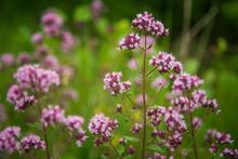 Beautiful Purple Oregano Flowers Blooming In The Meadow. Natural Herbal Tea.