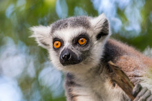 Captive Ring Tailed Lemur Attentive And Curious