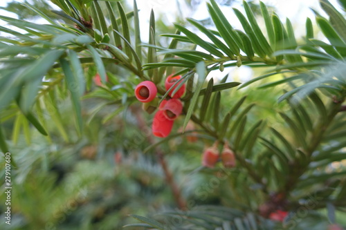 Fototapeta Thin branch of yew with red berries in October