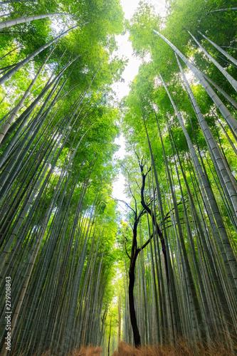 Fotografie, Obraz  Japanese bamboo forest