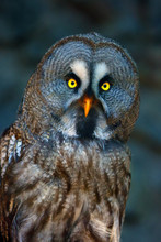 The Great Grey Owl Or Great Gr...