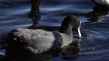 Red-knobbed Coot Swimming And ...