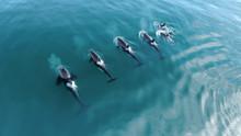 Wild Orcas Killerwhales Pod  Traveling In Open Water In The Ocean