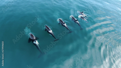 Fototapeta Wild Orcas killerwhales pod  traveling in open water in the ocean