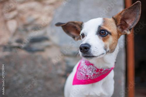 Fototapeta Portrait of a white dog with pink scarf on the neck. obraz na płótnie
