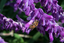 Sydney Australia, Bee Perched On A Stem Of Purple Velvet Mexican Sage