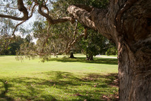Sydney Australia, Under A Maiden's Gum Tree  Looking Across The Lawn In Autumn Sunshine