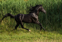 Free Black Stallion Trotting I...