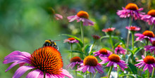 The Echinacea - Coneflower Clo...