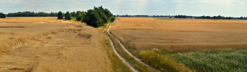 Panorama pola z rosnącym zbożem