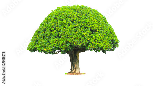 Green bush isolated on white background Slika na platnu