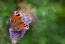 Peacock Butterfly Aglais Io