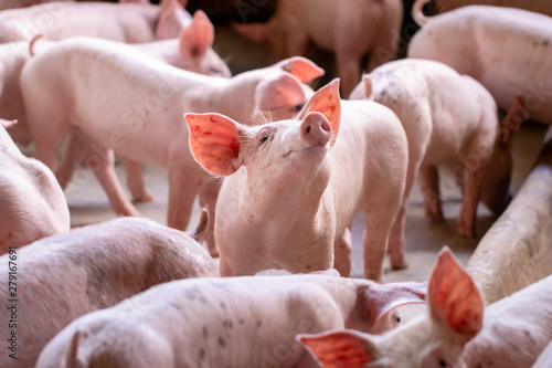 Obraz na plátně Small piglet in the farm