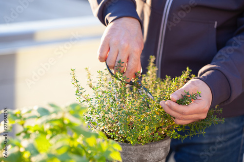 Foto gardener picking thyme leaves on balcony