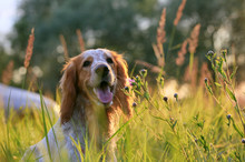 Portrait Of Happy Dog In Summer Field