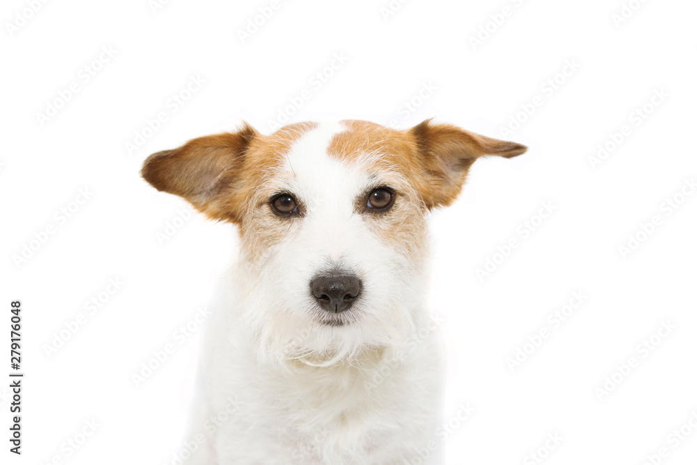 Fototapety, obrazy: Portrait serious jack russell dog. Isolated on white background.