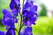 canvas print picture - Blue aconitum flower in the garden. Natural macro background, summer flowers