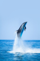 Fototapeta Delfin Dolphin jumping on the water - Beautiful seascape and blue sky