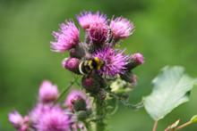 Beautiful Nature (a Bumblebee ...