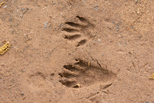 Northern Raccoon Tracks In Sand Taken In Central MN In The Wild
