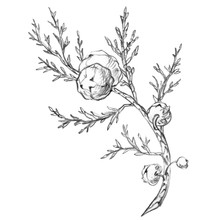 Sprig Of Juniper Seeds. The Dr...