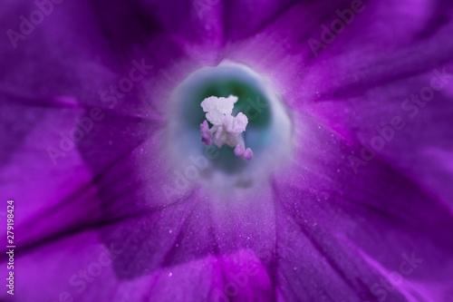 Fototapeta wnętrze fioletowego kwiatu powoju obraz