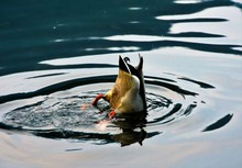 A Duck Dipped In Water