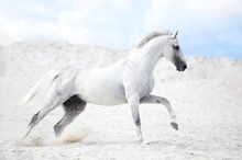 White Stallion Cantering In Wh...