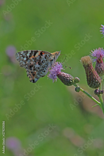 Red admiral butterfly on purple thistle blossom close-up