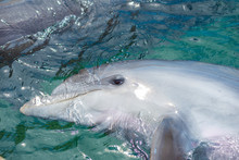 Close-up Of Swimming Dolphin I...
