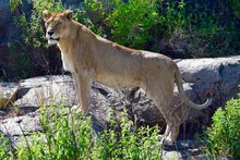 Lioness On The Rock