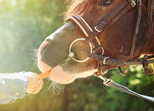 Little Girl Feeding Her Pony With Carrot In Park, Closeup