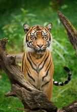 Tiger Stare With Green Background
