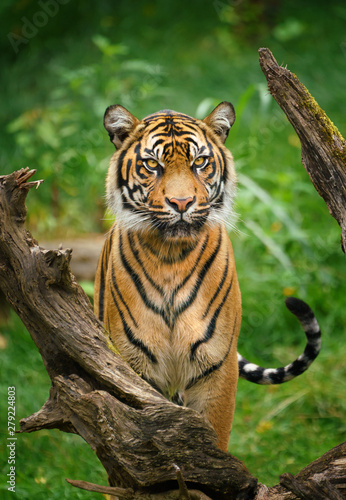 Valokuva Tiger stare with green background