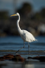 A Large Great Egret Walks In The Shallow Water With Small Waves In The Bright Sunlight With A Dark Background.