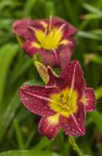 Blooming Daylily «Night Beacon» With Raindrops