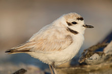 A Close-up Of A Small And Cute Snowy Plover In Soft Golden Sunlight.