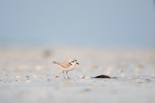 A Small Cute Snowy Plover Stands On A Light Sandy Beach With Shells In The First Bit Of Dawn Light.