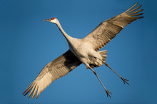 A Sandhill Crane With Its Wings Spread Wide As It Flies With A Bright Blue Sky Background.