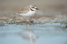A WIlson's Plover Stands In Shallow Water With A Soft Reflection With A Piece Of Grass In Its Bill In Soft Light.