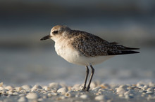 A Black-bellied Plover Stnads ...