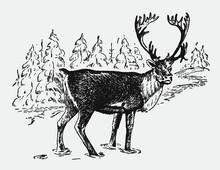 Male Caribou Or Reindeer Rangi...
