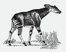 Endangered Okapi, Okapia Johnstoni Walking In A Landscape. Illustration After A Vintage Engraving From The Early 20th Century