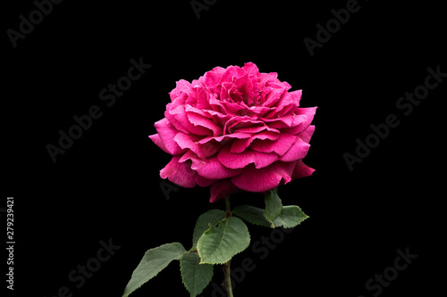 Canvas Prints Floral Beautiful big pink rose isolated on black background. Delicate rose macro.